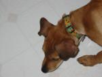 Chien Abbey - Braque hongrois à poil court Femelle (10 ans)