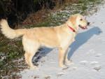 Chien Gaya Golden retriever 10 mois - Golden Retriever  (10 mois)