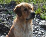Chien Beau portrait de star - Golden Retriever  (0 mois)