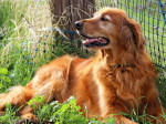 Chien Golden Retriever - Golden Retriever  (0 mois)