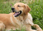 Chien Le Golden retriever - Golden Retriever  (0 mois)