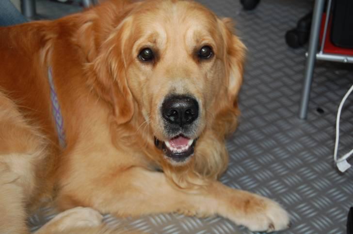 Photo caramel golden retriever m le 4 ans - Golden retriever gratuit ...