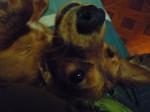 Chien tomy - Cocker Mâle (2 ans)