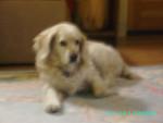Chien Daisy - Cocker Femelle (8 ans)