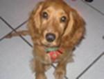 Chien Lola - Cocker Femelle (4 ans)
