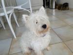 Chien Fripouille - Westie Femelle (1 an)