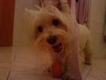 Chien Bella - Westie Femelle (9 ans)