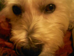 Chien Lilly - Westie Femelle (2 ans)