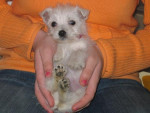 Chien WEST HIGHLAND WHITE TERRIER... BIANCA-BELLA - Westie  (0 mois)