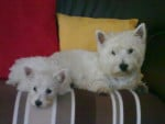 Chien west highland white terrier - Westie  (0 mois)