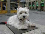 Chien Maguy West Highland white terrier - Westie  (0 mois)