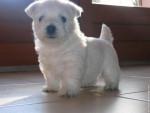 Chien White Pearl - Westie Femelle (2 mois)