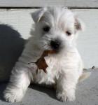 Chien Pépita - Westie Femelle (2 mois)