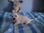 Chien étoile - Westie Femelle (2 mois)