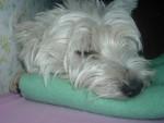 Chien chipie - Westie Femelle (3 ans)