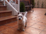 Chien Lolo - Westie Femelle (1 mois)