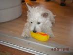 Chien Gaïa - Westie Femelle (6 mois)