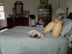 Chien Shelly - Westie Femelle (3 ans)