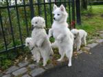 Chien The funniest dogs on the planet!!!! - Chien d\'eau américain Mâle (7 ans)