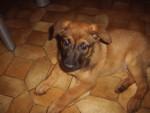 Chien missy - Berger Belge Malinois Femelle (2 mois)
