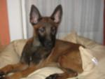Chien Istyx - Berger Belge Malinois Femelle (4 mois)