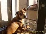 Chien DOG AR STAFF MALINOIS PONTER \