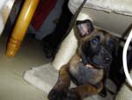 Chien lexi - Berger Belge Malinois Femelle (2 mois)