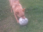 Chien Chienne footballeuse - Berger Belge Malinois  (0 mois)
