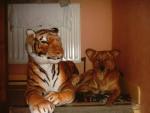 Chien Tigre et chien, ca fait bon ménage - Berger Belge Malinois  (0 mois)