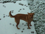 Chien Neige neige!!!! - Berger Belge Malinois Femelle (0 mois)