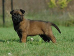 Chien Outlaw - Berger Belge Malinois Mâle (1 mois)