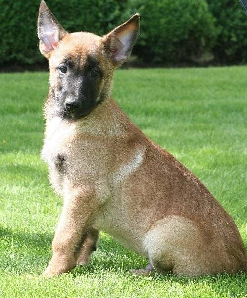 Photo Athos : Berger Belge Malinois mâle (4 mois)