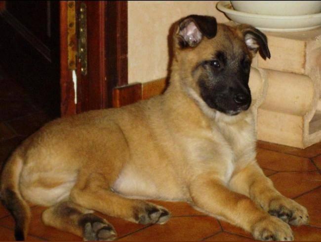 Photo b b brembo le rouquin berger belge malinois - Image bebe chien ...