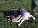 Chien ashka and 9 pups - Berger d\'Anatolie Femelle (0 mois)