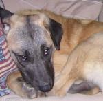 Chien kangal nom: vénus (Berger d\'Anatolie) - Berger d\'Anatolie  (0 mois)