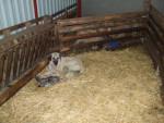 Chien chiots kangal ( berger d\'anatolie ) - Berger d\'Anatolie Femelle (0 mois)