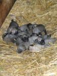 Chien chiots kangal ( berger d\'anatolie ) - Berger d\'Anatolie  (0 mois)