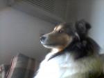 Chien Skippy - Berger des Shetland Mâle (7 ans)