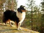 Chien  - Berger des Shetland  (0 mois)