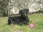 Chien Helios - Beauceron Femelle (3 mois)