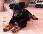 Chien tyler - Beauceron Mâle (11 mois)