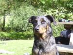 Chien Djebel - Beauceron Femelle (2 ans)