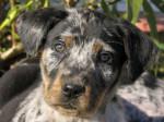 Chien beauceron arlequin - Beauceron  (0 mois)