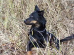 Chien Berger de Beauce  -  Texas - Beauceron  (0 mois)
