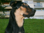 Chien beauceron/shayna - Beauceron  (0 mois)