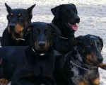 Chien -Beaucerons - Groupe sage - Beauceron  (0 mois)