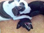 Chien CROISE DOG ARGENTIN, CROISE BEAUCERON - Beauceron  (0 mois)