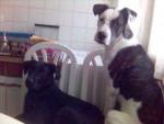 Chien CROISE DOG ARGENTIN ET CROISE BEAUCERON - Beauceron  (0 mois)