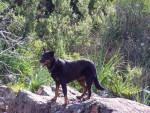 Chien Beauceron - Texas - Beauceron  (0 mois)