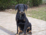 Chien Feu Noir - Berger de Beauce - Beauceron  (0 mois)